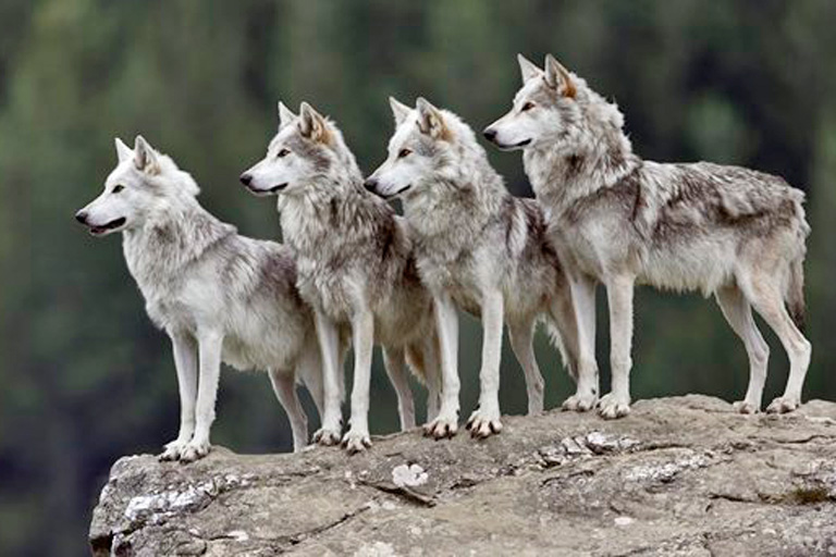 Habrá Aullido Del Lobo Mexicano Para Largo